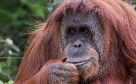 orangutana-Sandra-2
