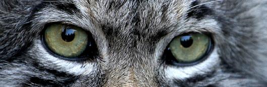 ojos_de_gato